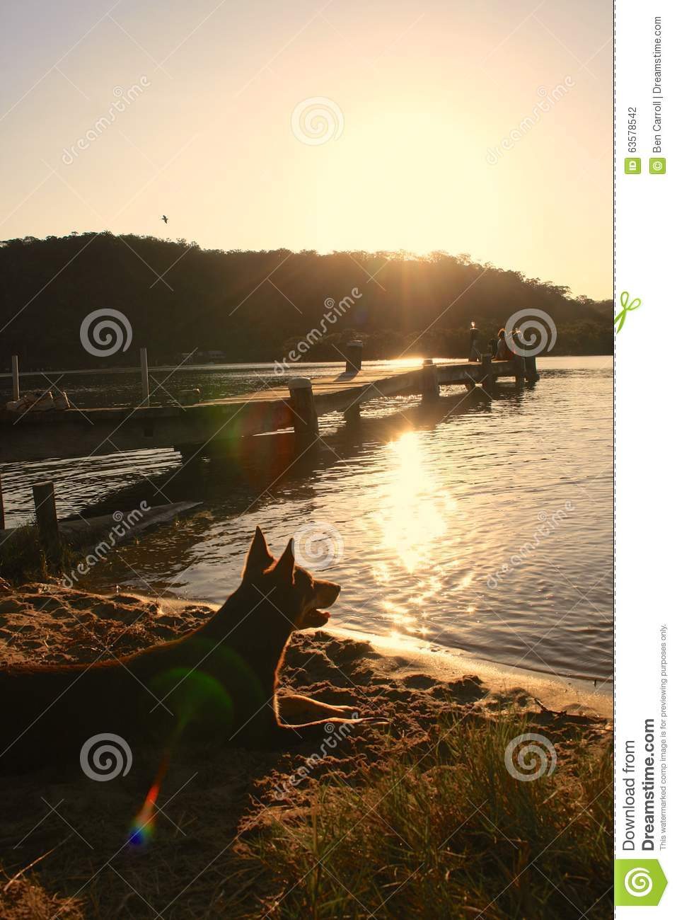 Brown Kelpie on Beach staring into distance under sunset