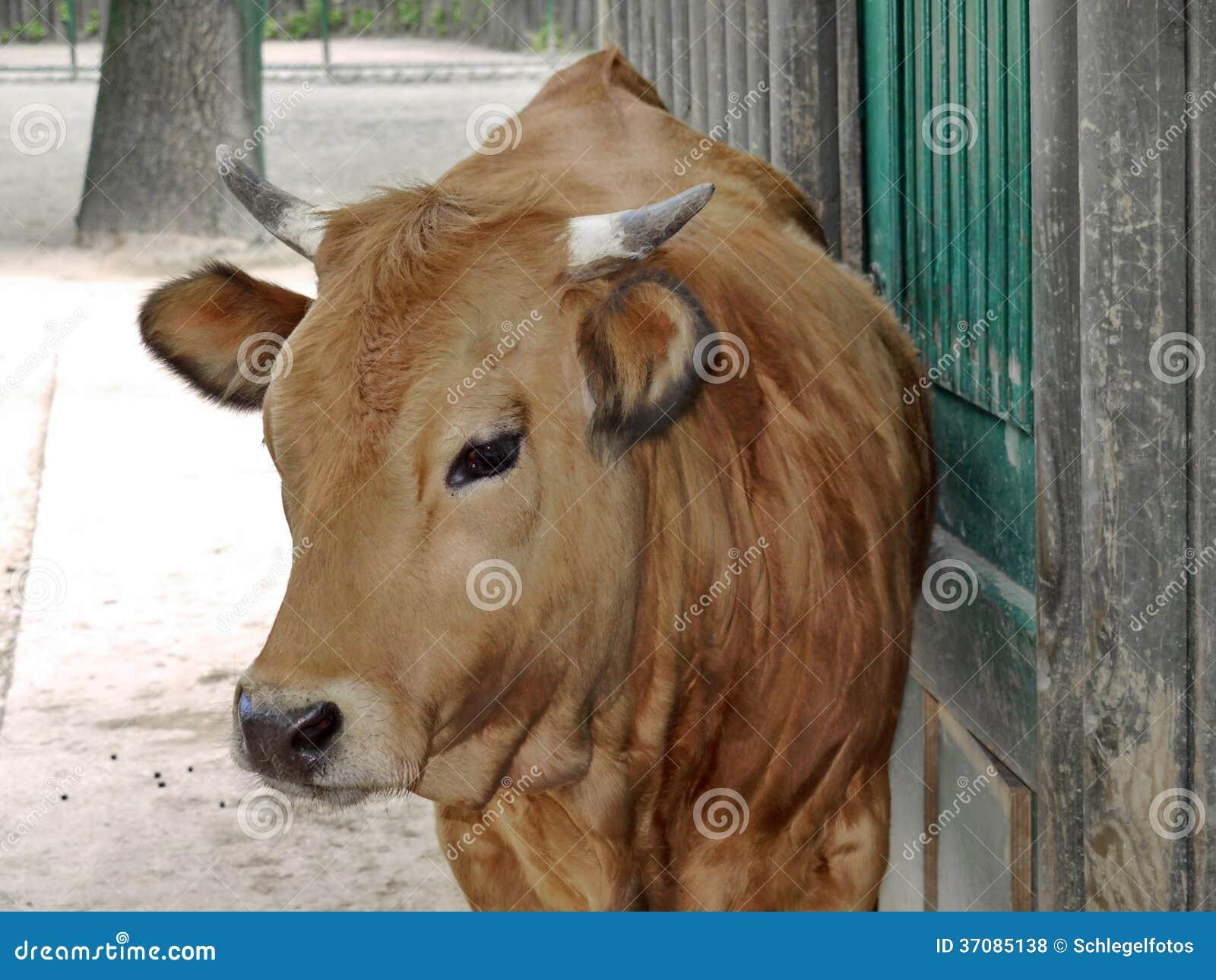 Download Brown krowa przed kramem zdjęcie stock. Obraz złożonej z bydło - 37085138