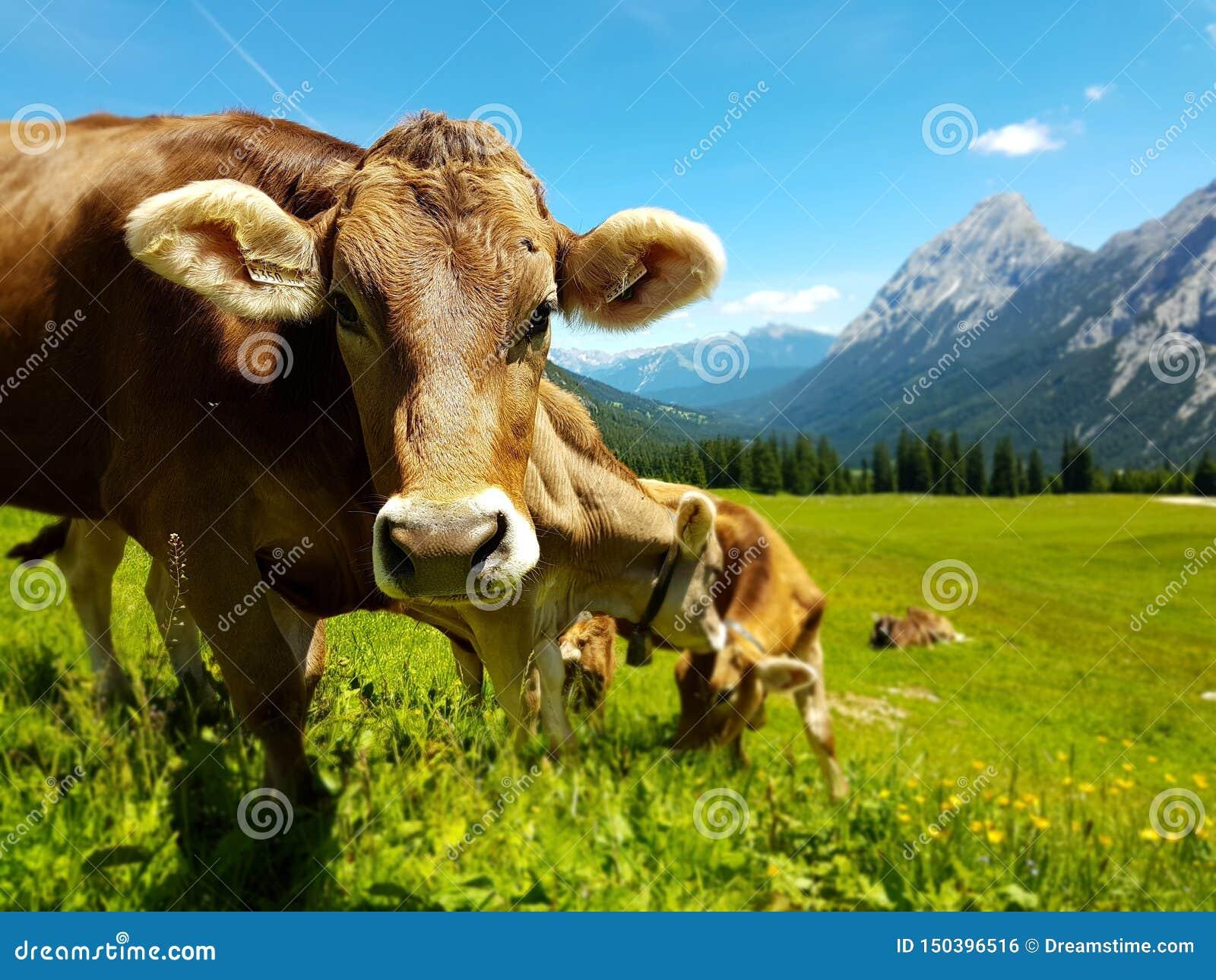 Brown-Kuh, die auf Wiese in den Bergen weiden lässt Vieh auf einer Weide