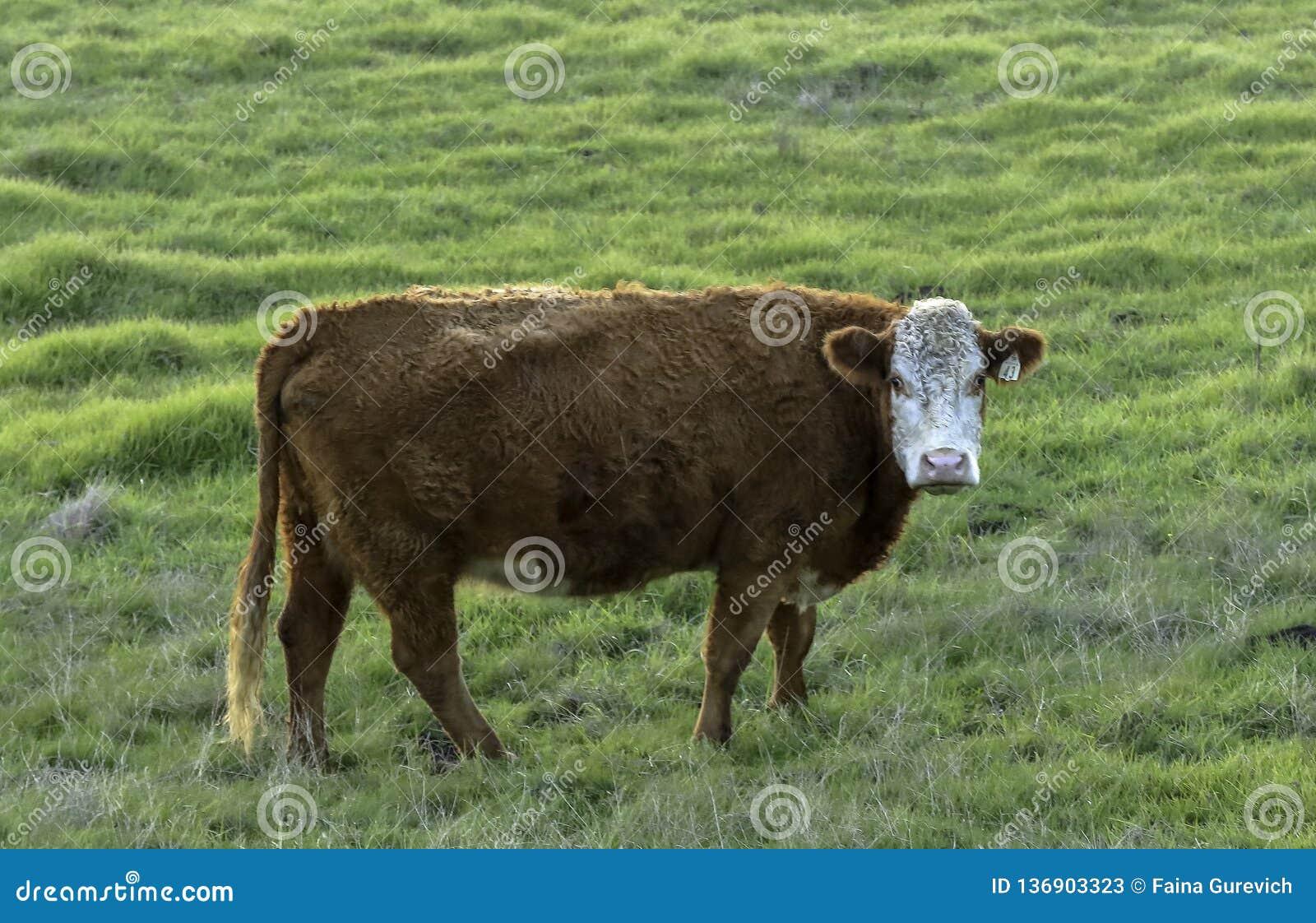 Brown-Kuh, die in der Weide in Nord-Kalifornien weiden lässt