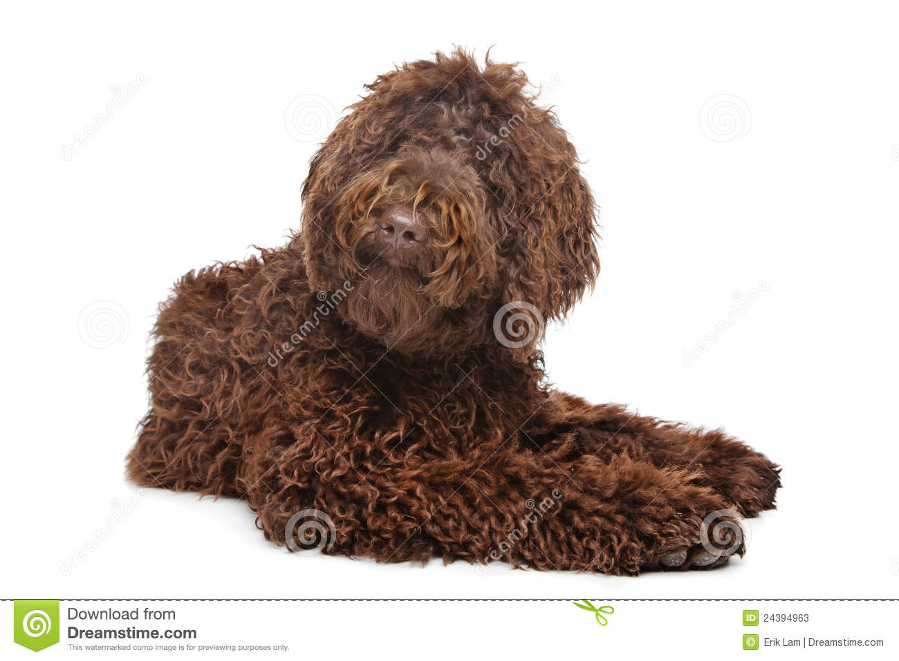 Brown Labradoodle Stock Photos - Image: 24394963