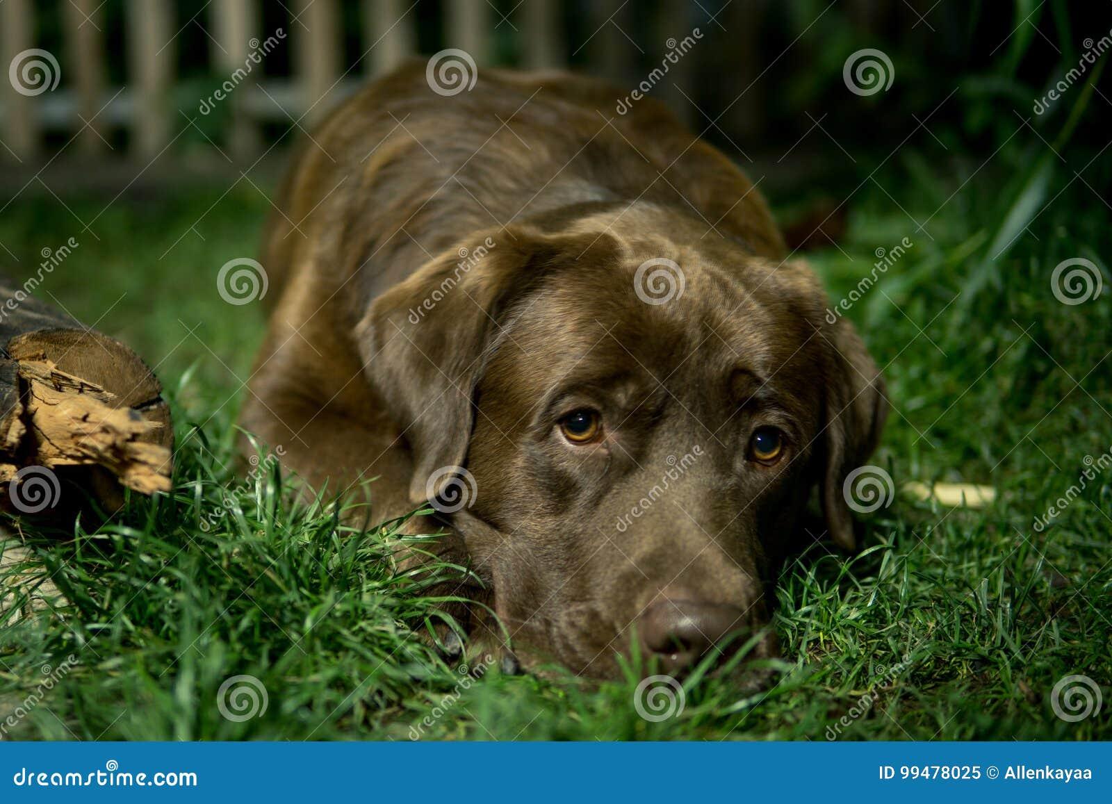 Brown labrador dog is lying on the green grass. Chocolate labrad