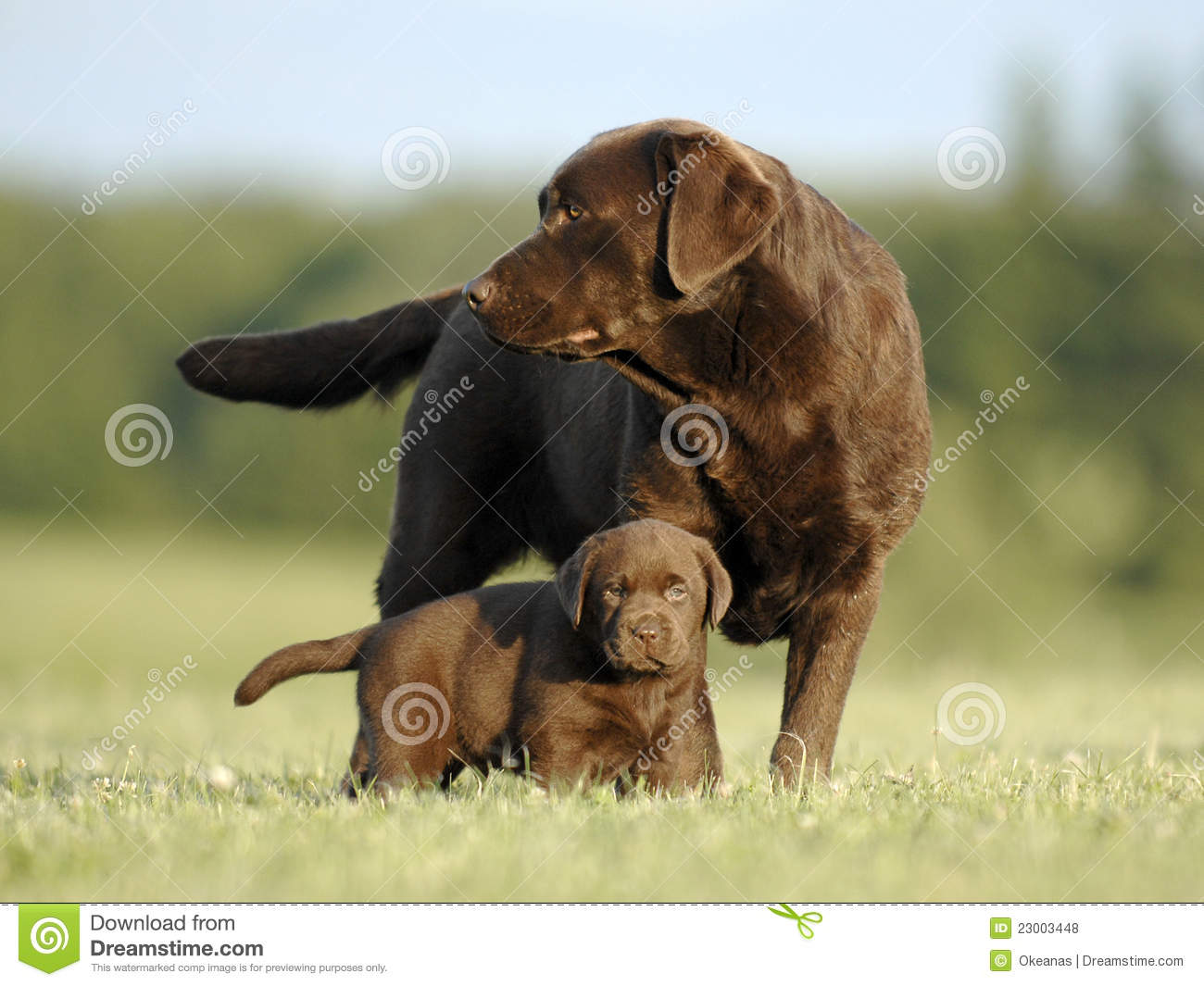 Brown Labrador Puppy And Mother Stock Photo Image Of Puppy Nice 23003448