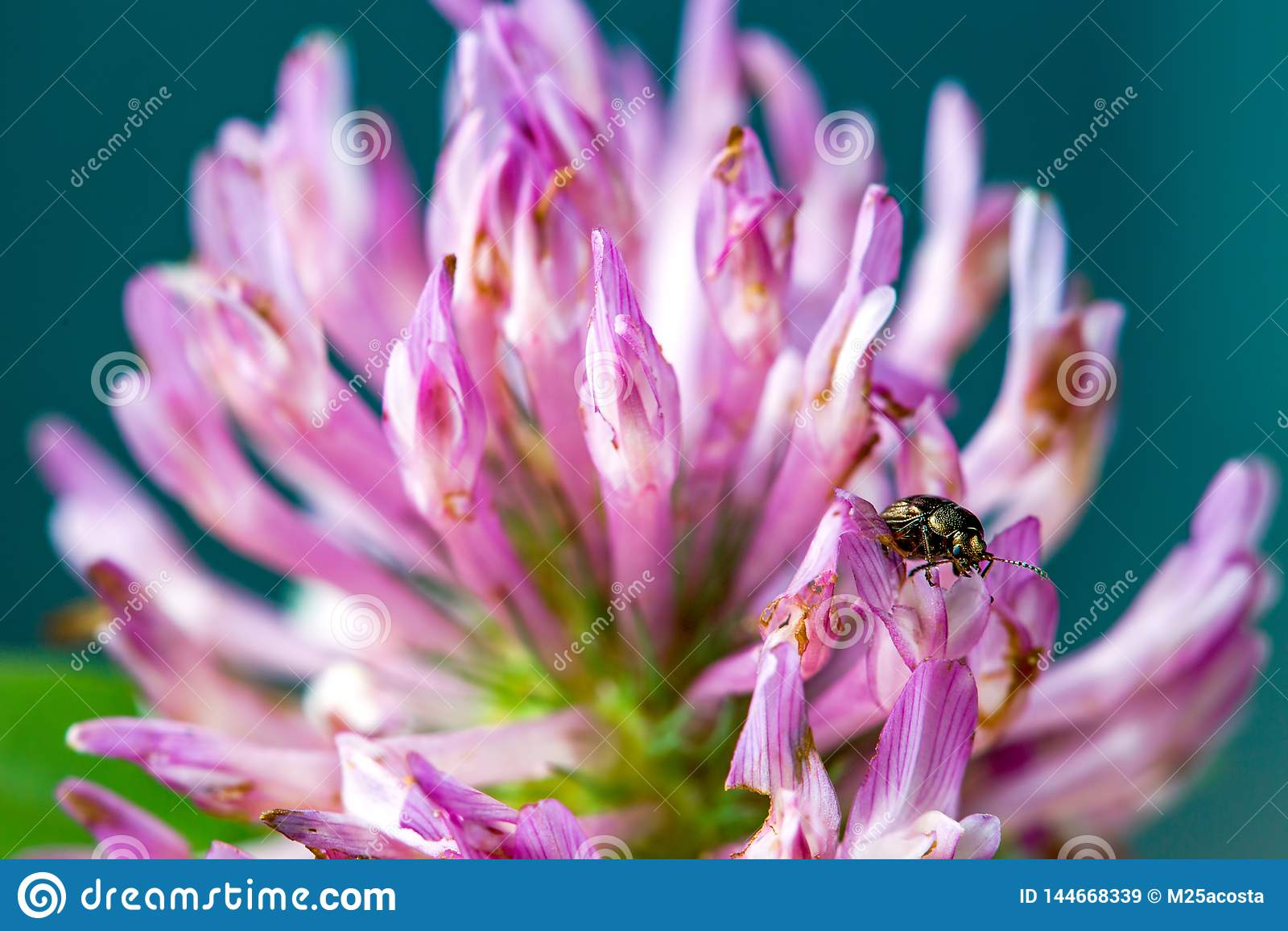 Brown ladybug walking on a red clover flower