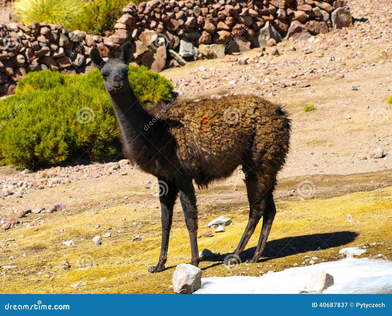 Brown-Lama auf der Weide