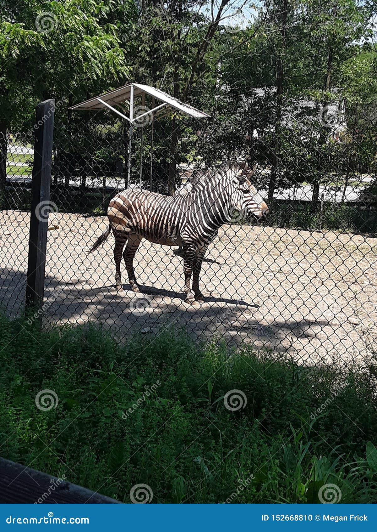Brown listrou a zebra