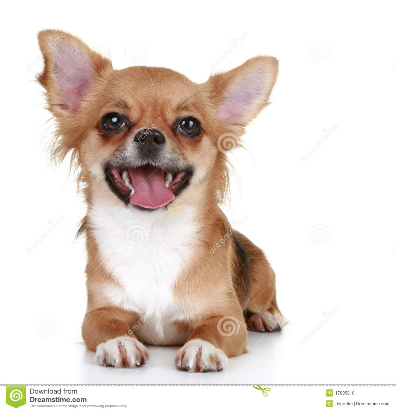 Brown Long-haired Chihuahua Puppy Stock Photo - Image ...