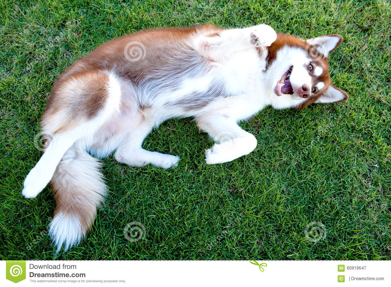 Brown lovely dog lay down on green grass field