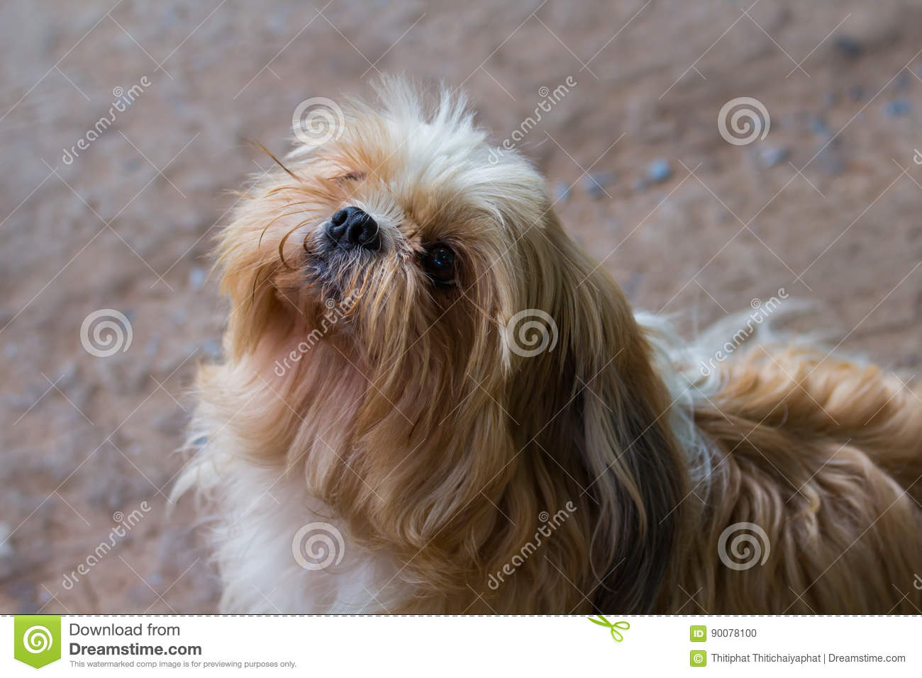 Brown Maltese Dog Stock Photo Image Of White Puppy 90078100
