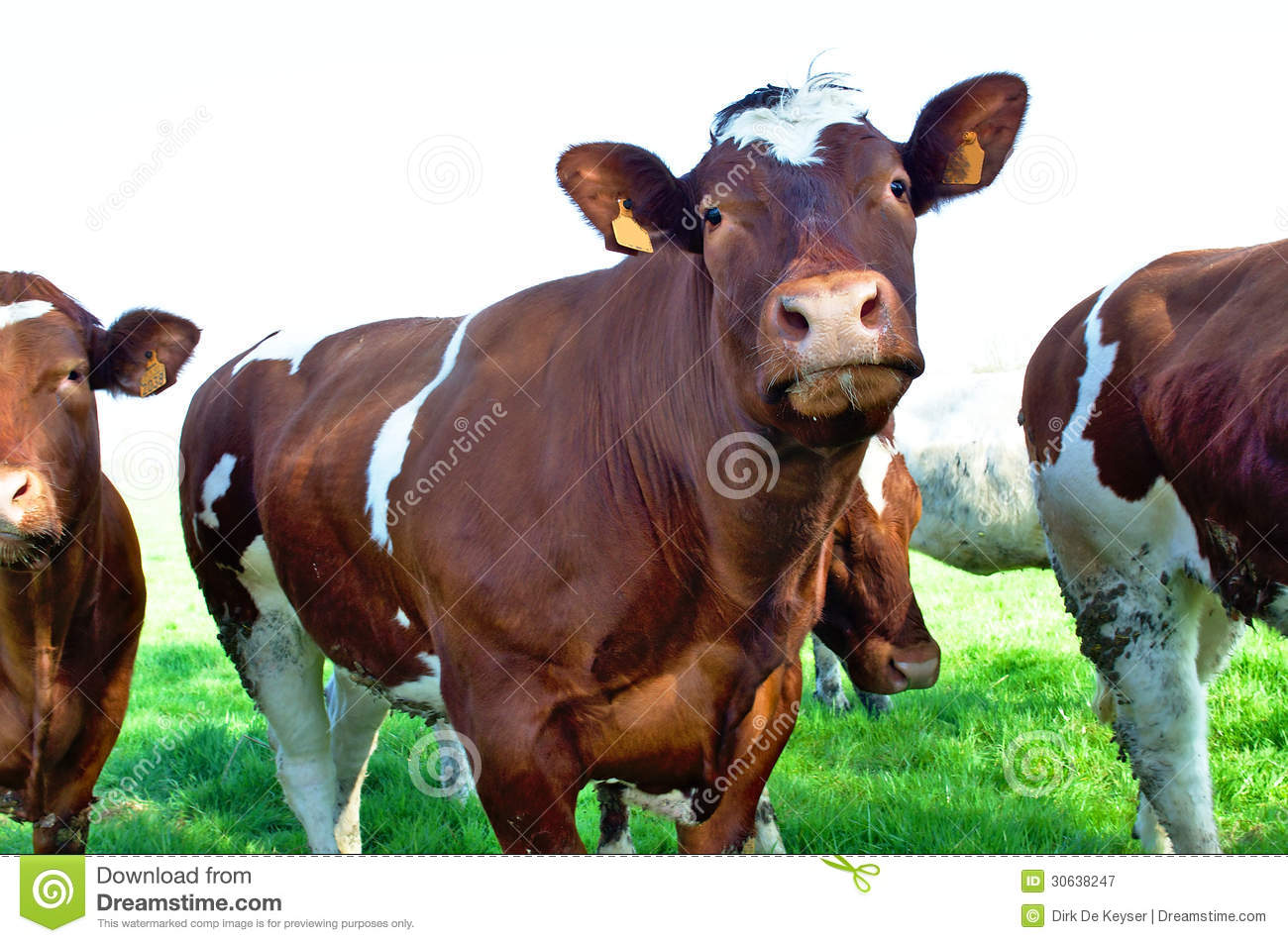 Brown milk cows in a green meadow