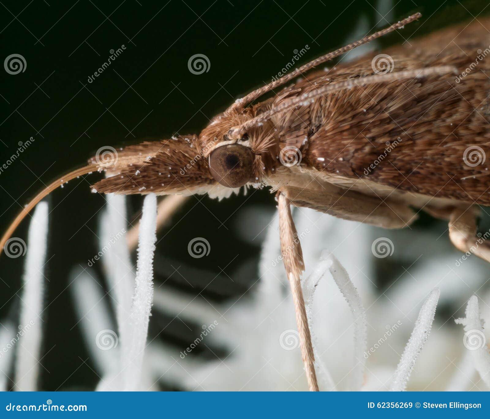 Brown-Motte extrahiert Blütenstaub von der weißen Blume