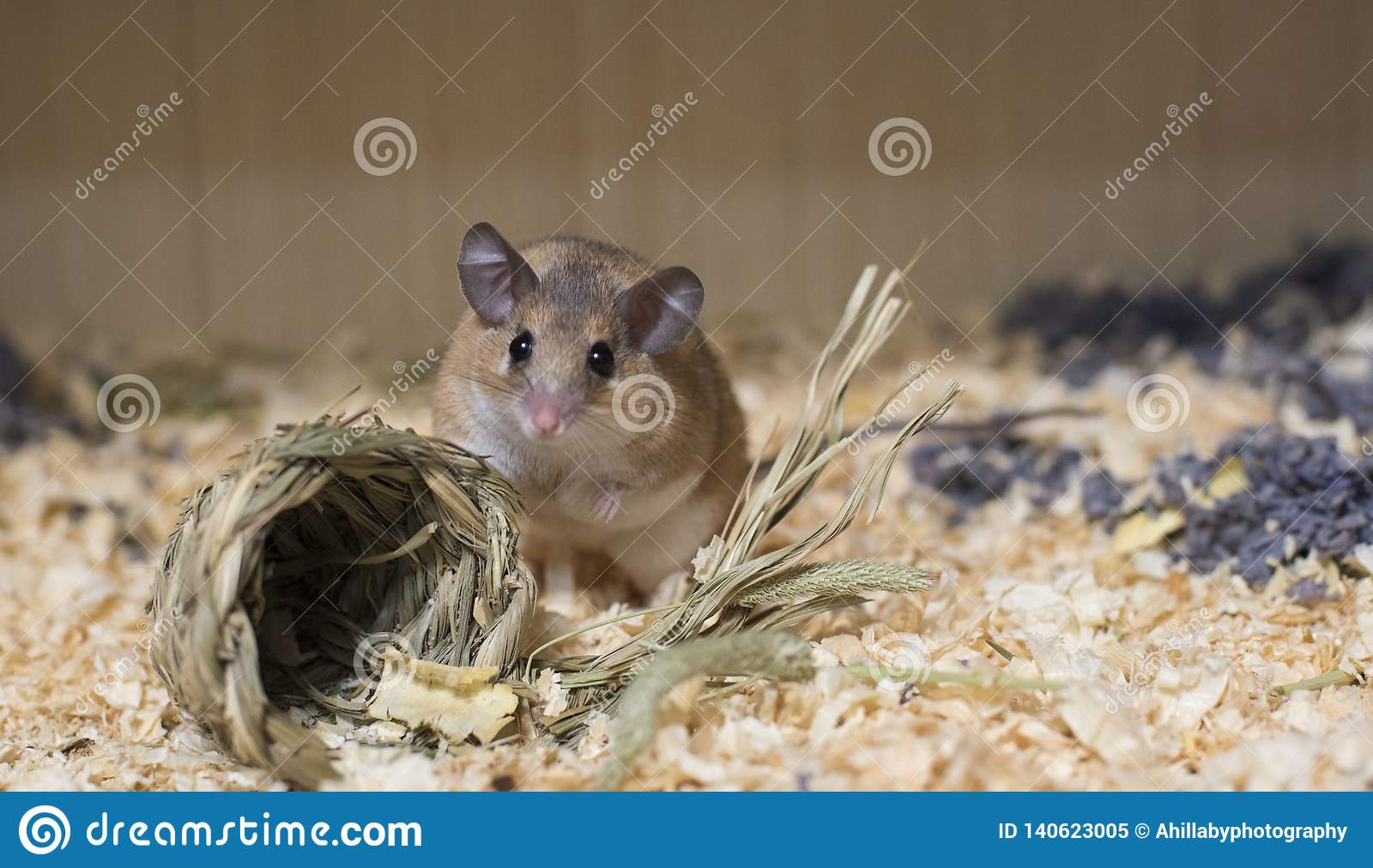 Brown mouse in nest