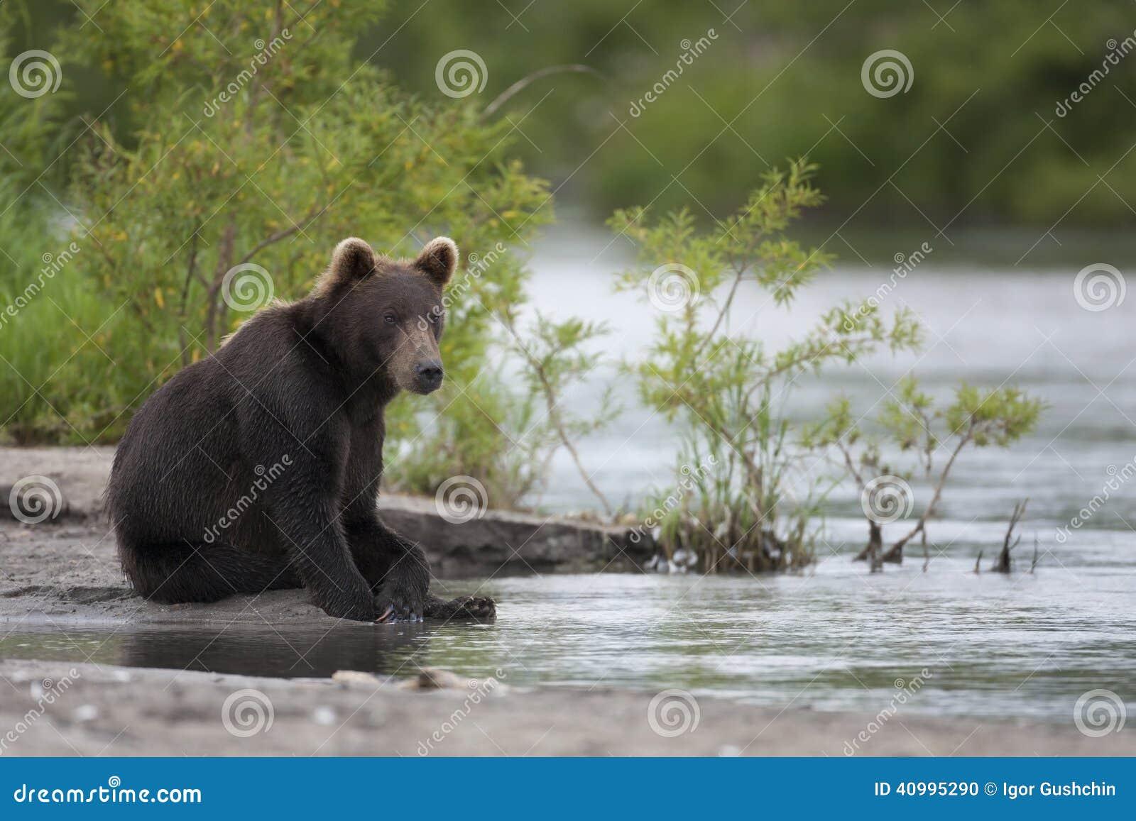 Brown niedźwiedź siedzi na brzeg rzeki
