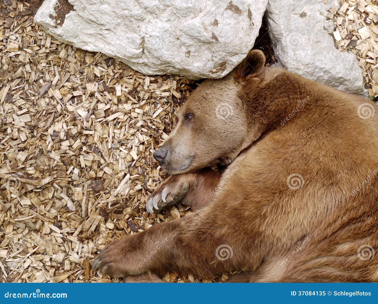 Download Brown niedźwiedź w naturze obraz stock. Obraz złożonej z hibernacja - 37084135