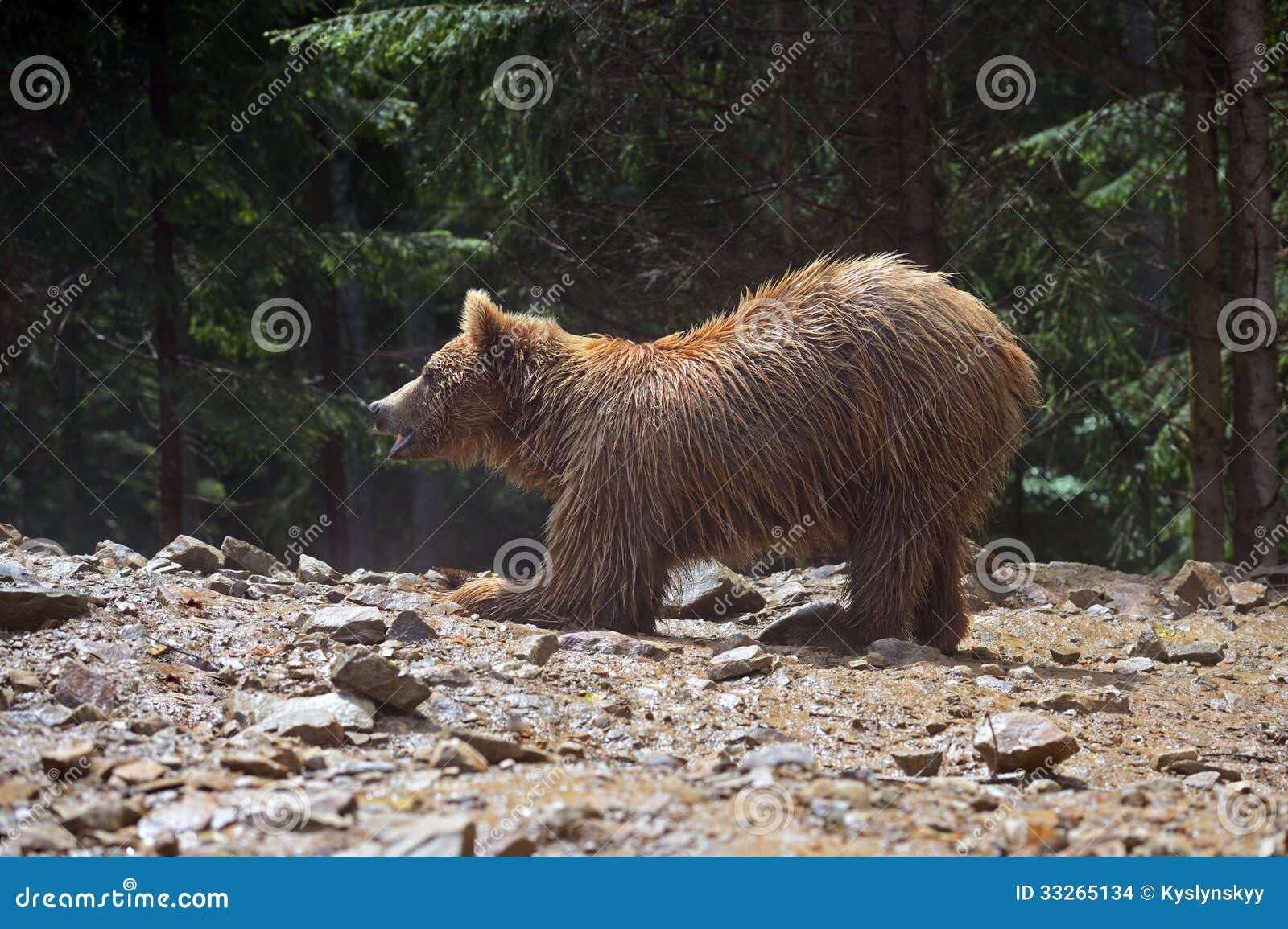 Brown niedźwiedzie