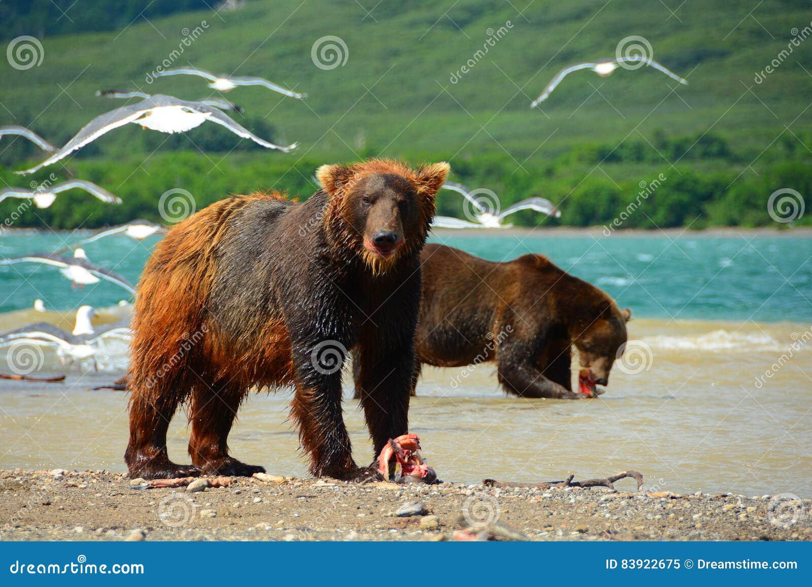 Brown niedźwiedzie je dzikiego łososia