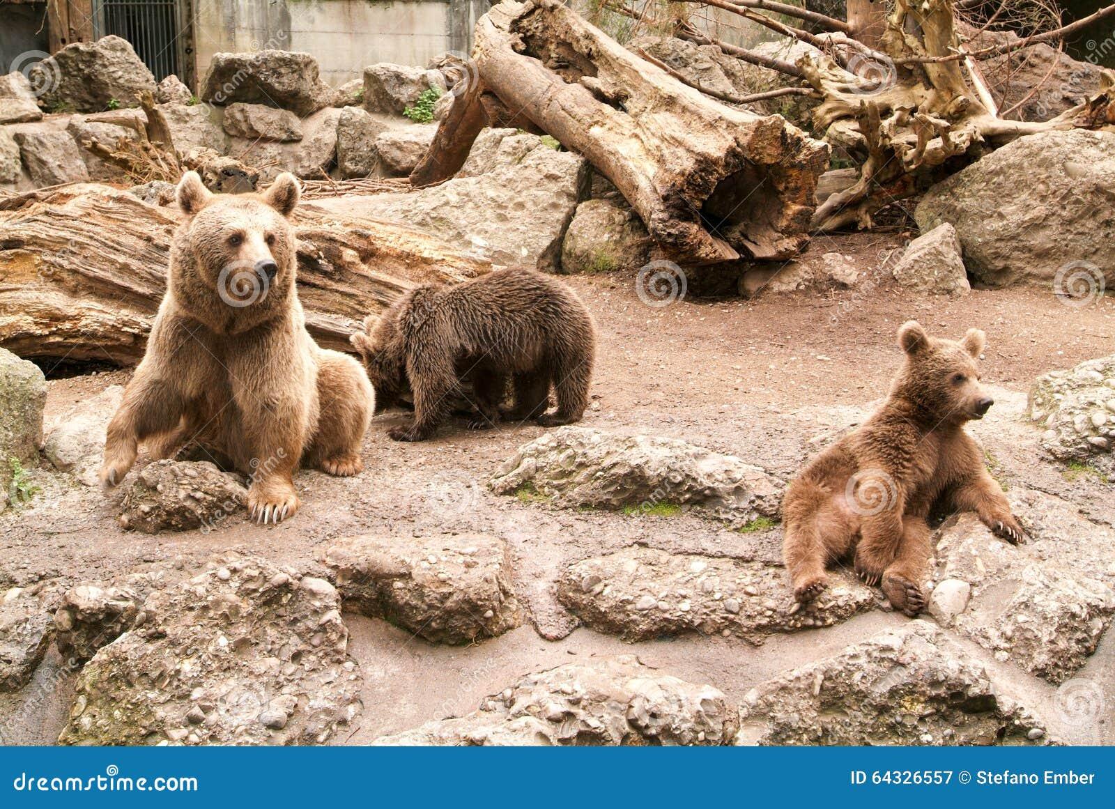 Brown niedźwiedzie przy zoo przy Goldau