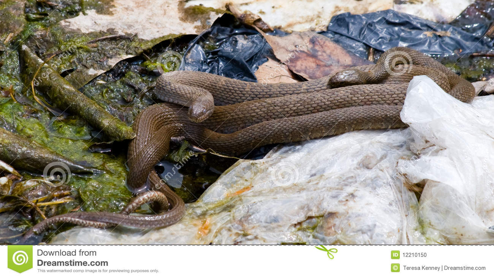 Brown Northern Water Snake
