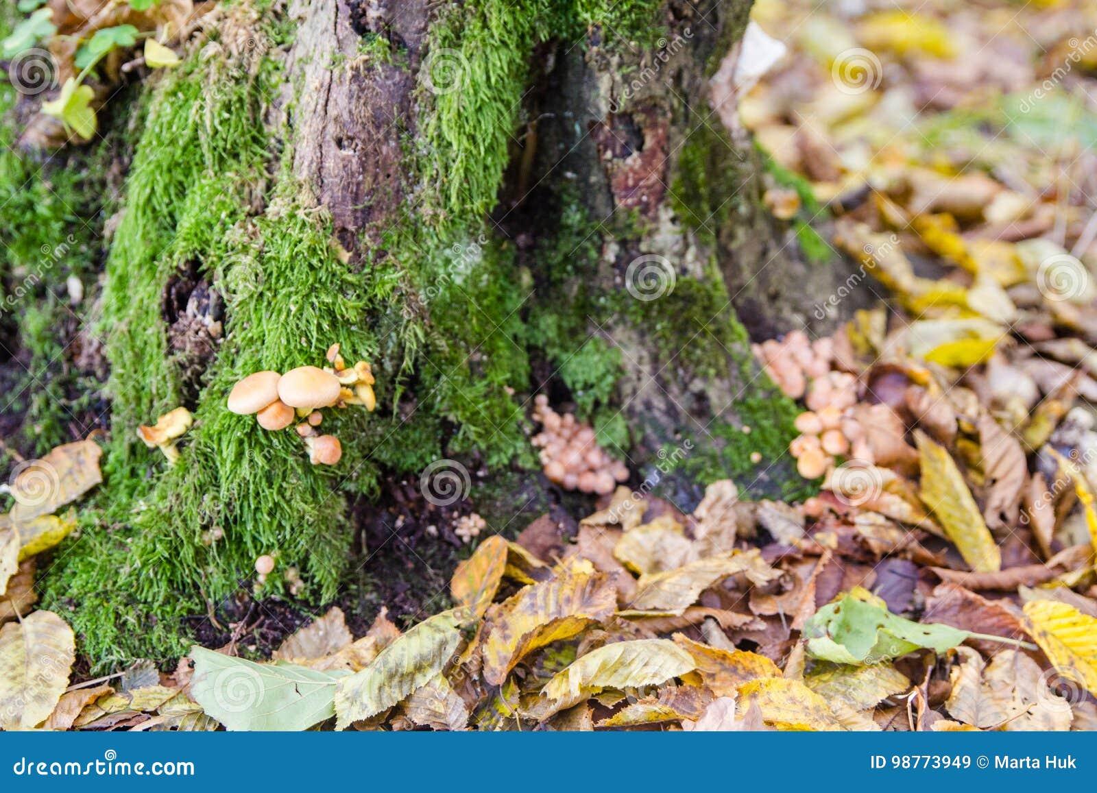 Brown ono rozrasta się w jesień lesie