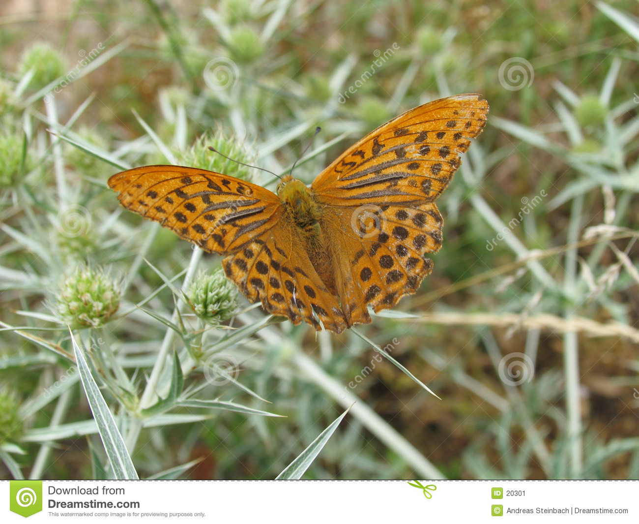 Brown/orange butterfly on thistle