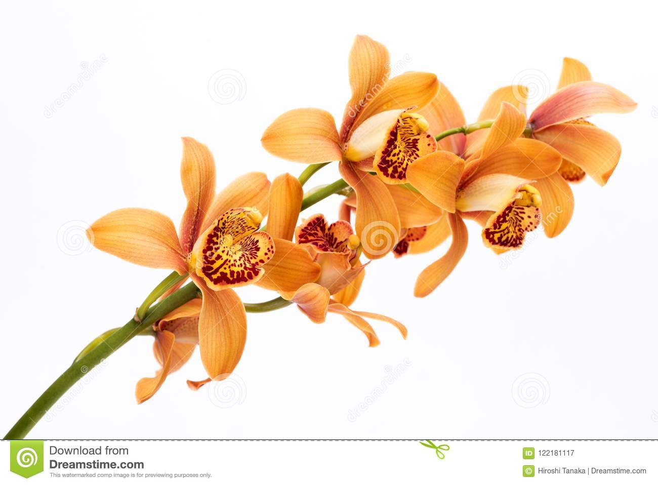 Brown orchid flowers