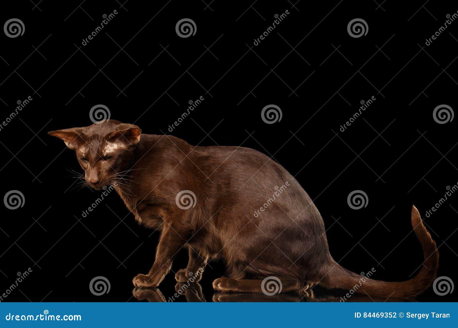 Brown Orientalny Kot Na Odosobnionym Czarnym Tle Zdjęcie Stock