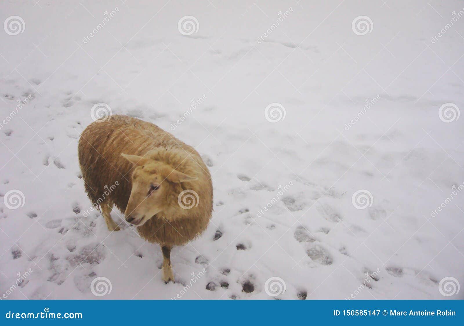 Brown/ovejas beige que presentan en la nieve