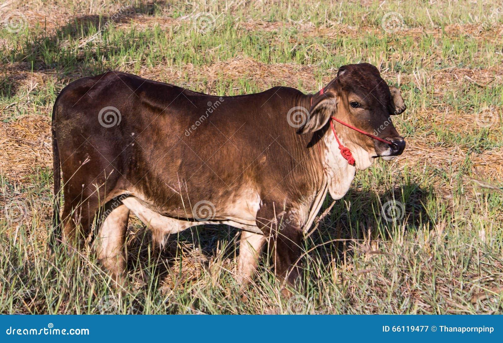 brown ox stock image image of close brown milk tropical 66119477. Black Bedroom Furniture Sets. Home Design Ideas