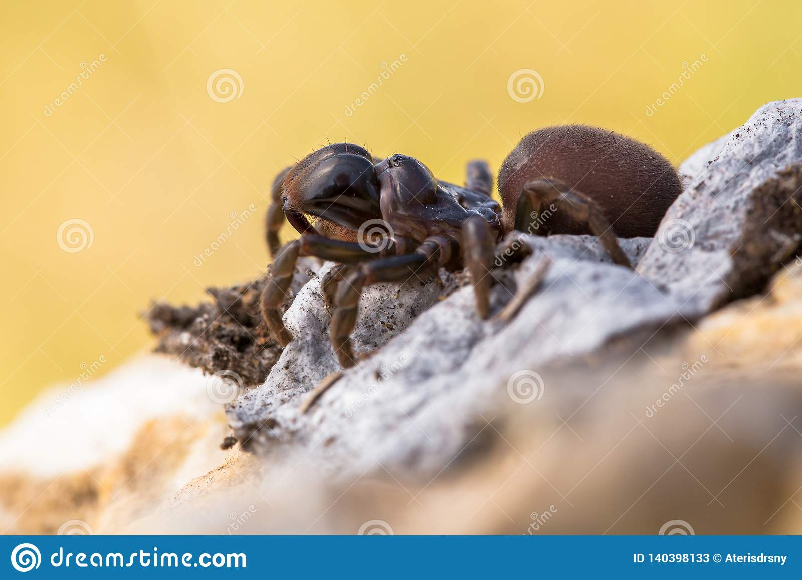 Brown pająka Atypus muralis w republika czech