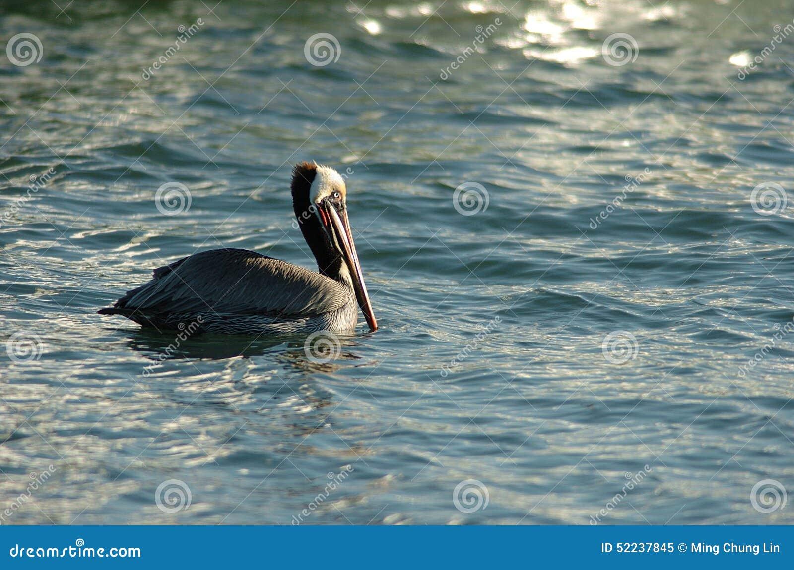 Brown Pelican - Breeding adult