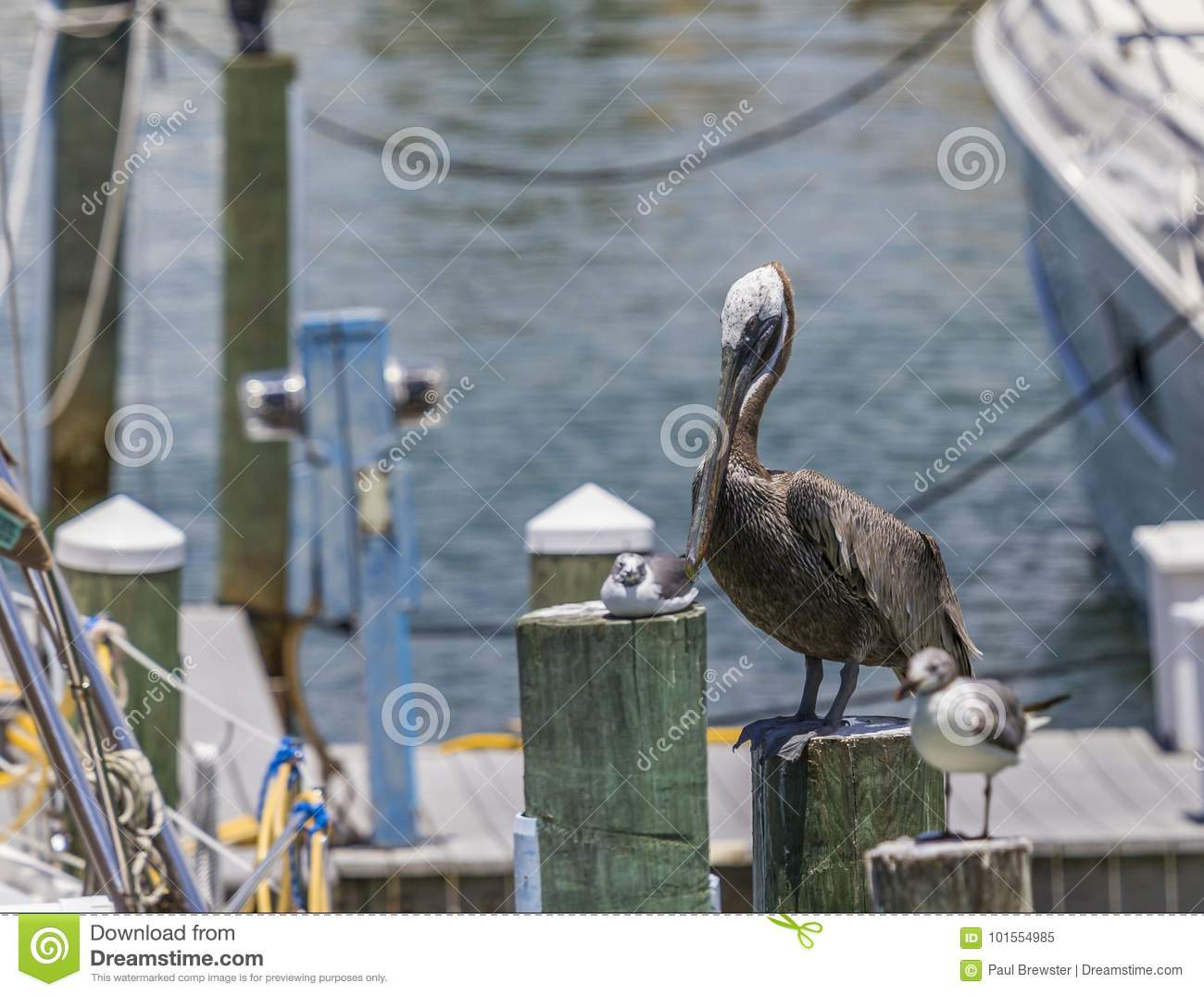 Brown Pelican At Clearwater Beach Marina In Florida Use
