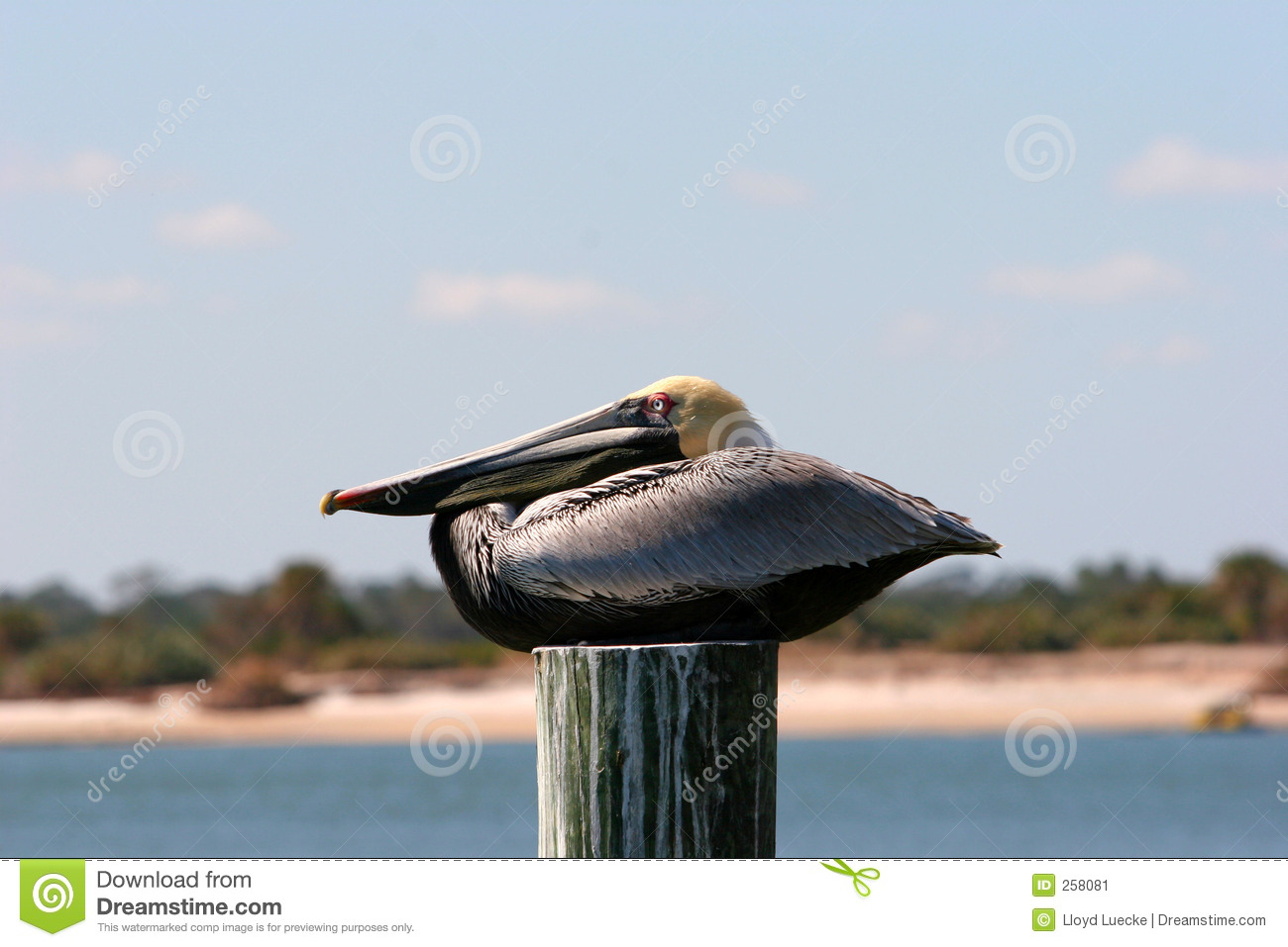 Brown Pelican Resting