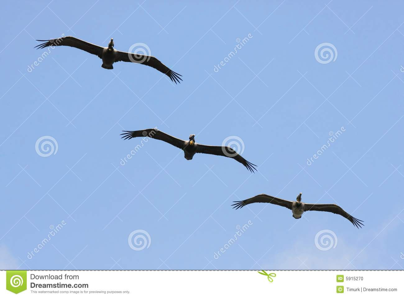 Download Brown Pelicans stock photo. Image of unison, arrangement - 5915270