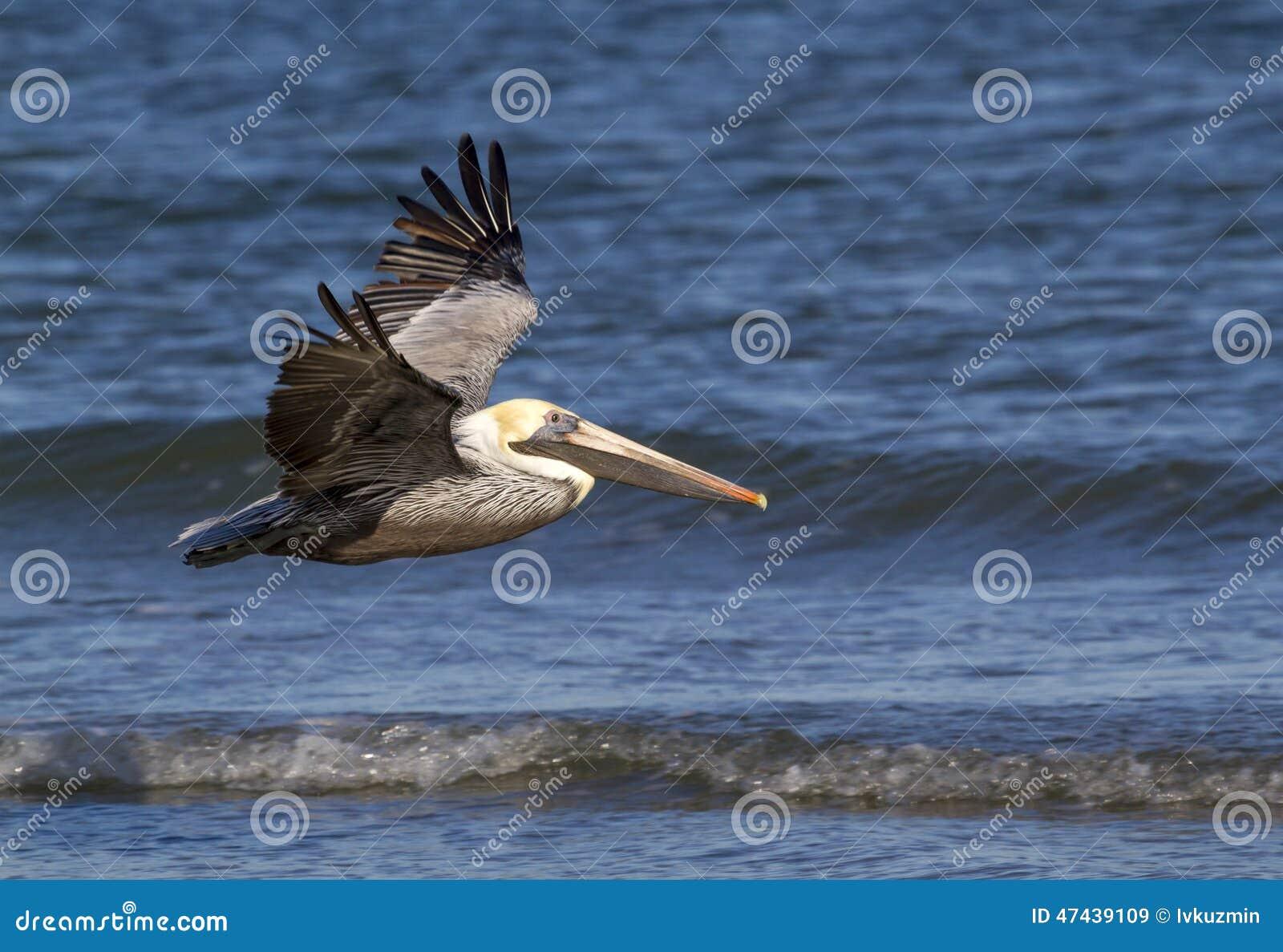 Brown pelicans (Pelecanus occidentalis) flying along the ocean coast,