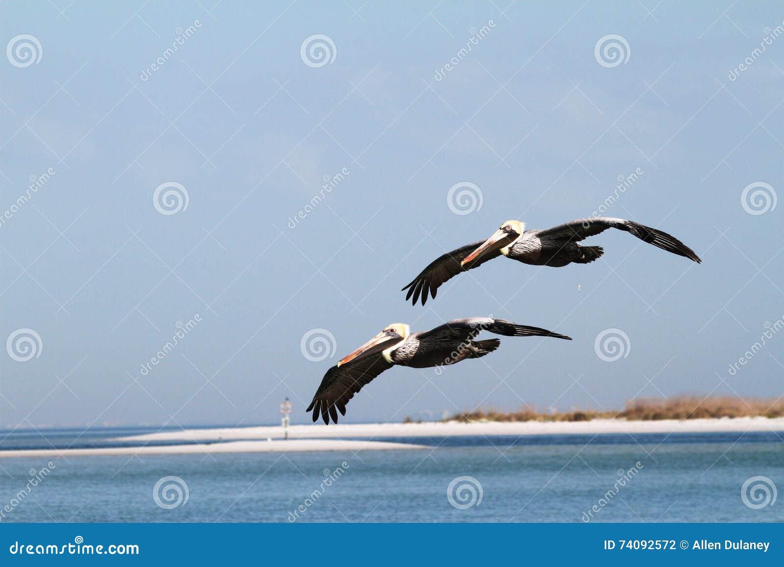 Brown pelikanów Latać