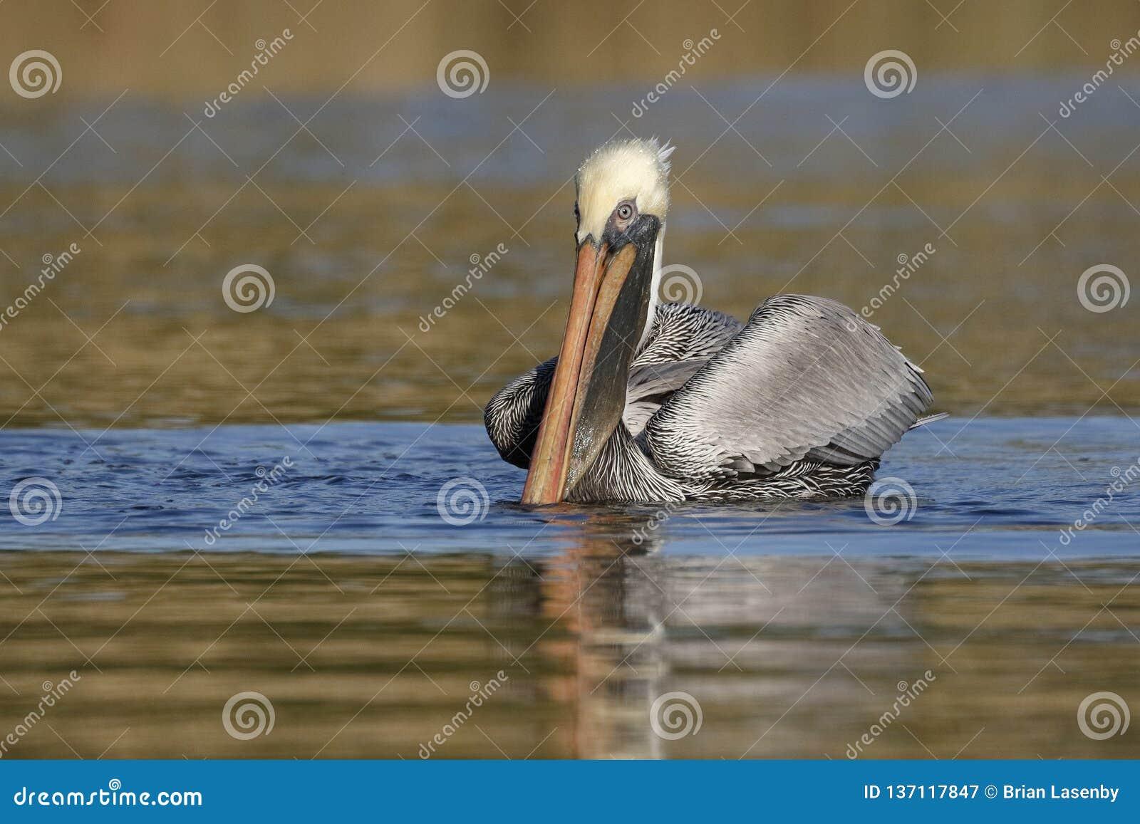 Brown pelikana dopłynięcie na Floryda rzece