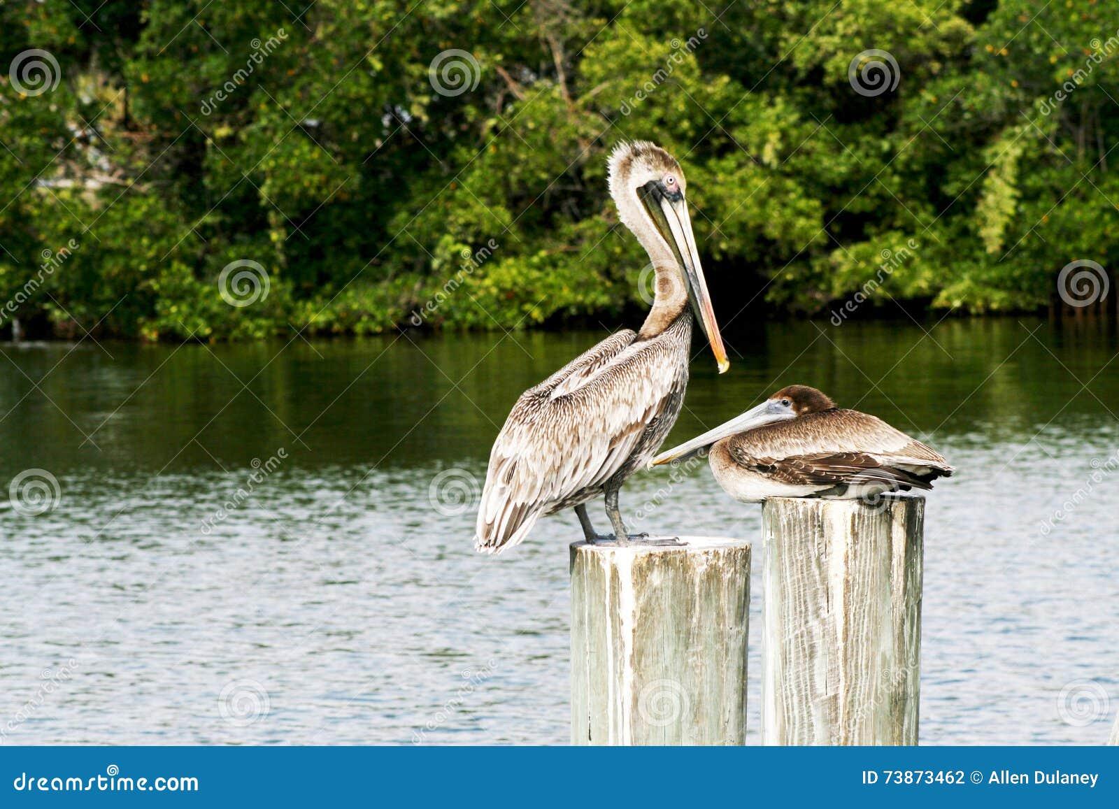 Brown pelikana podgniezdnik i kobieta
