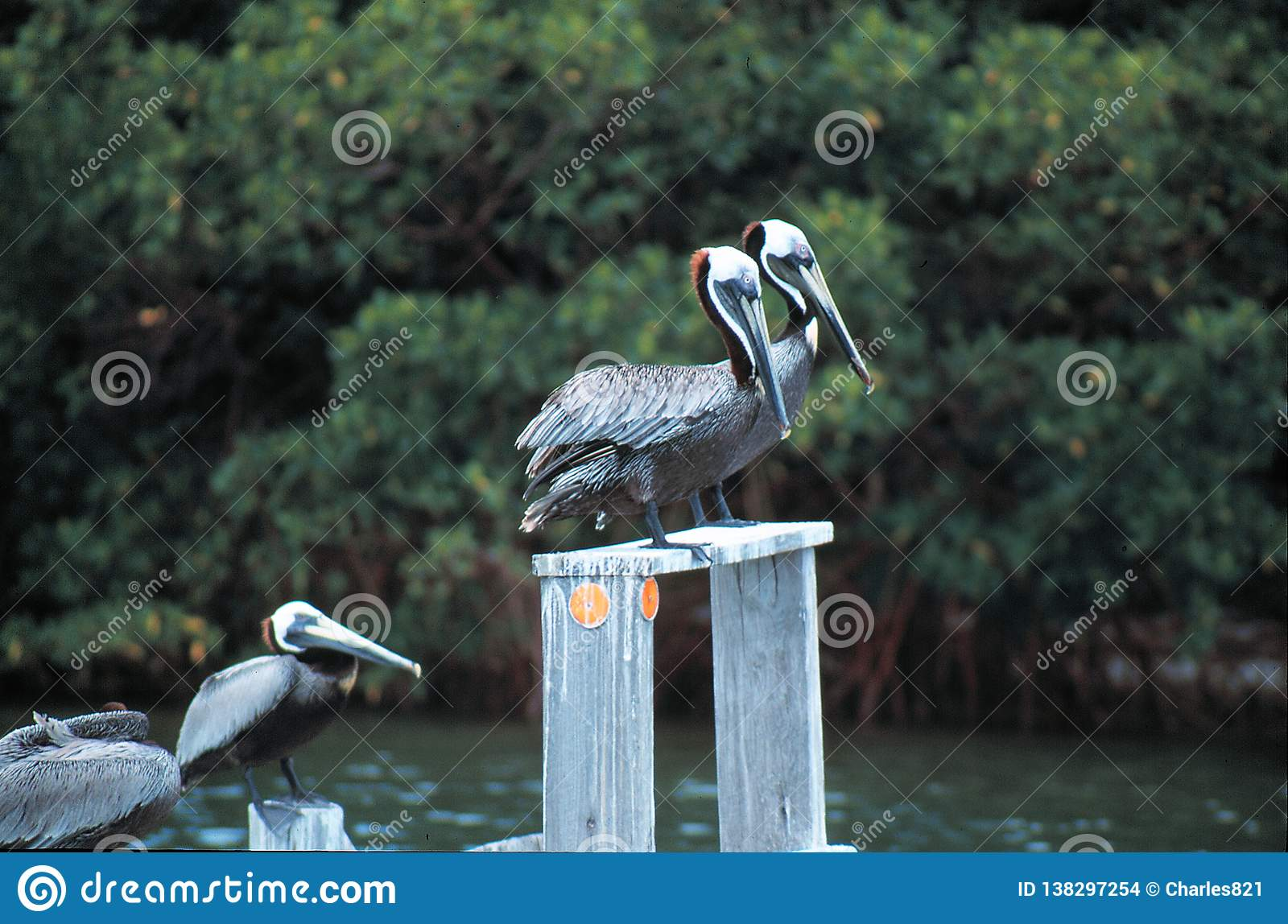 Brown pelikany dalej
