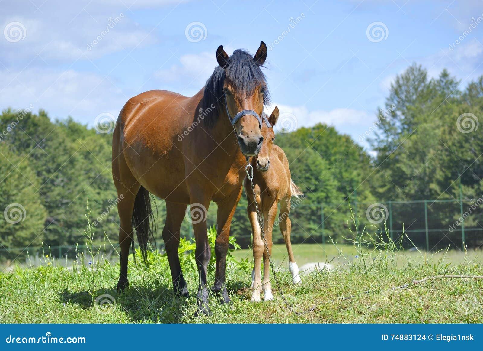 Brown-Pferd mit seinem Fohlen