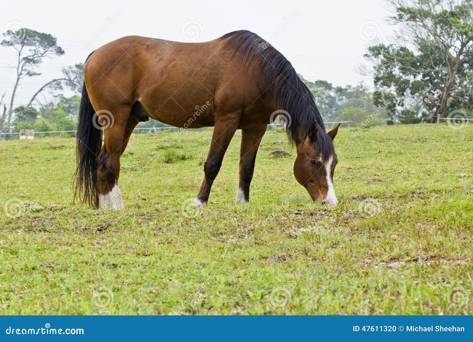 Brown-Pferd mit weißen Markierungen
