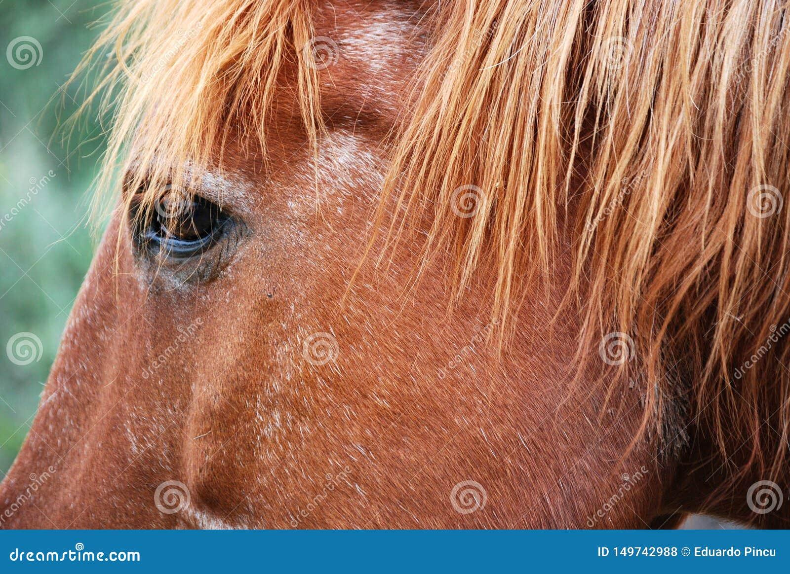 Brown-Pferdeauge auf Argentiniercordoba-Gebiet
