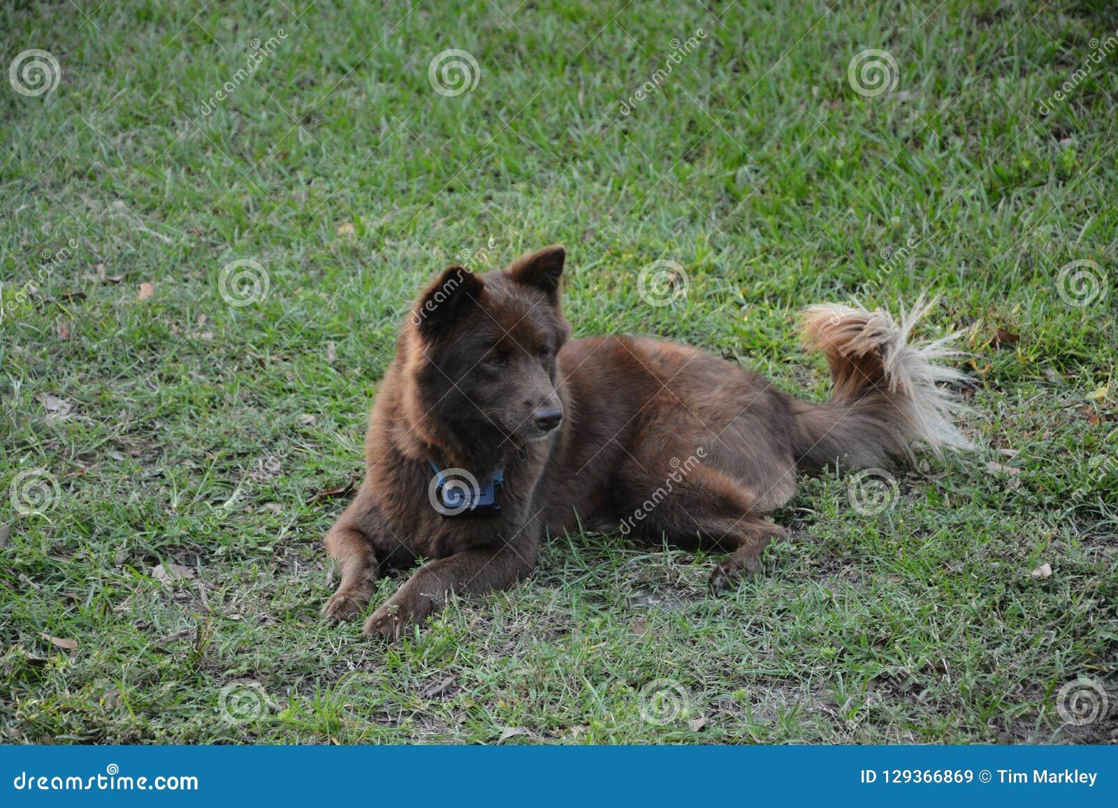 Brown pies w trawie