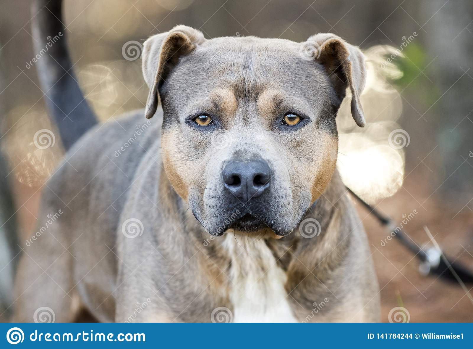 Brown Pit Bull Terrier dog