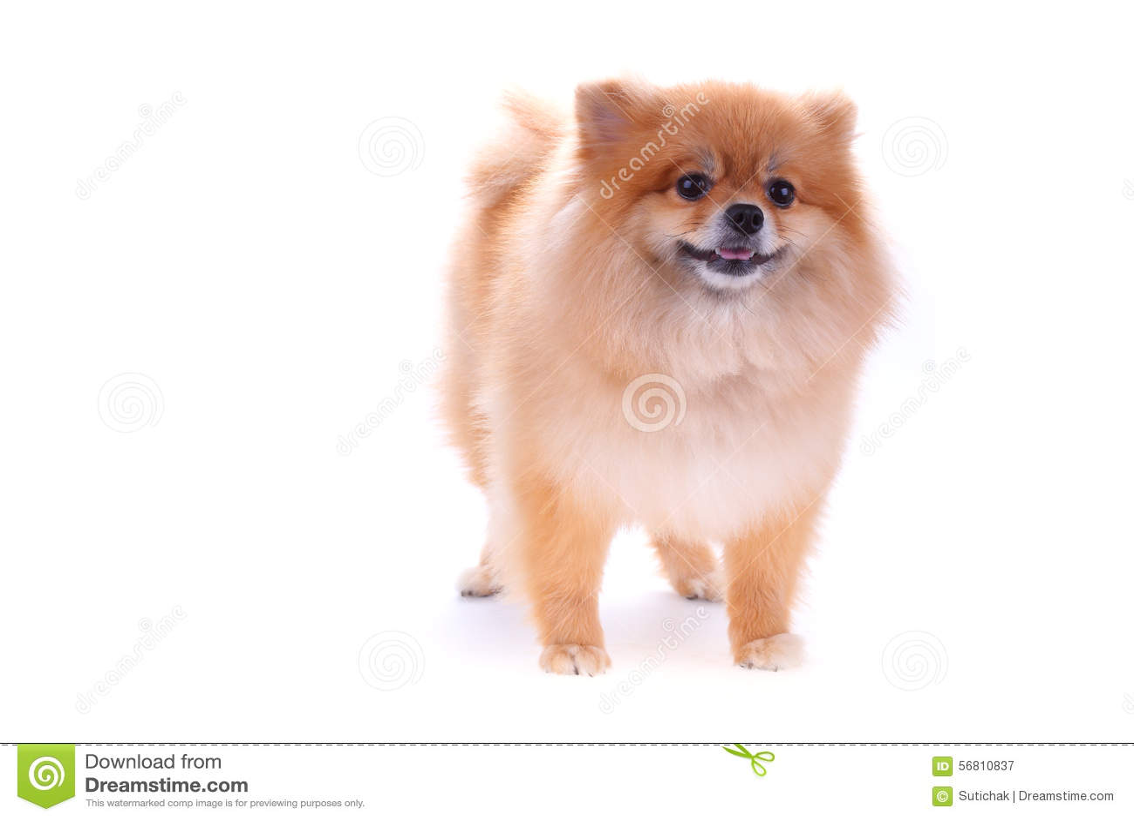 Brown Pomeranian Dog Stock Image Image Of Small Pretty 56810837