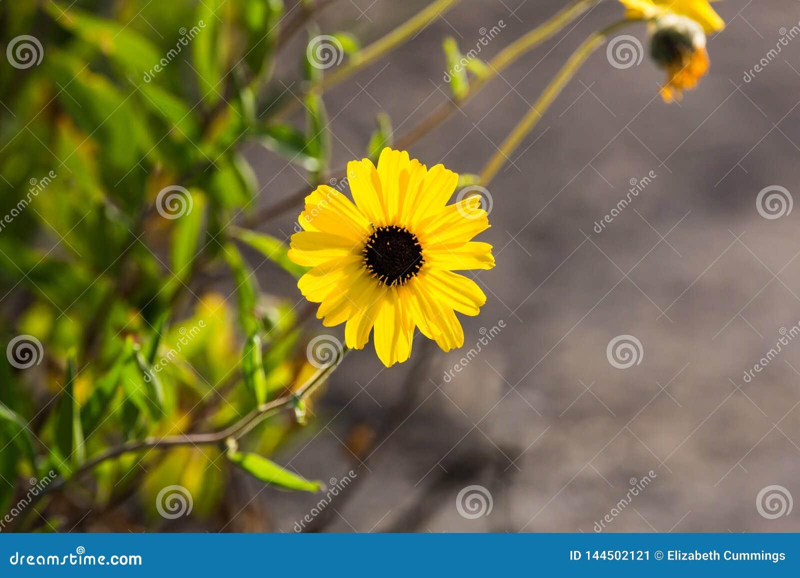 Brown przyglądał się susans żółci kwiaty r dzikiego wzdłuż ścieżki