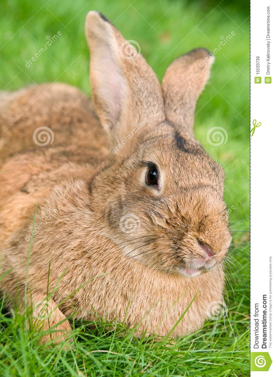 Brown Rabbit Bunny On Grass Royalty Free Stock Images ...