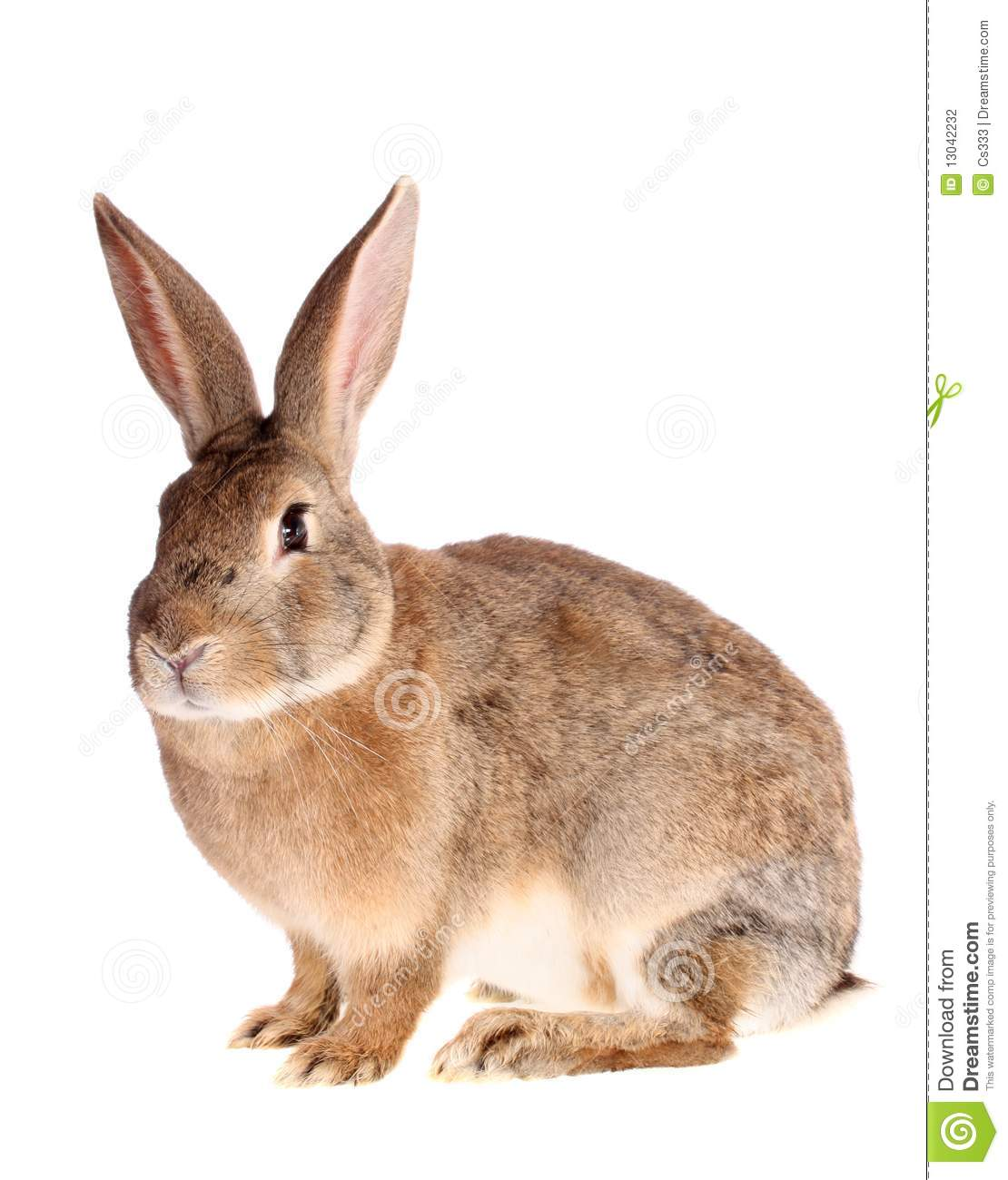 Brown Rabbit, Isolated. Stock Photography - Image: 13042232