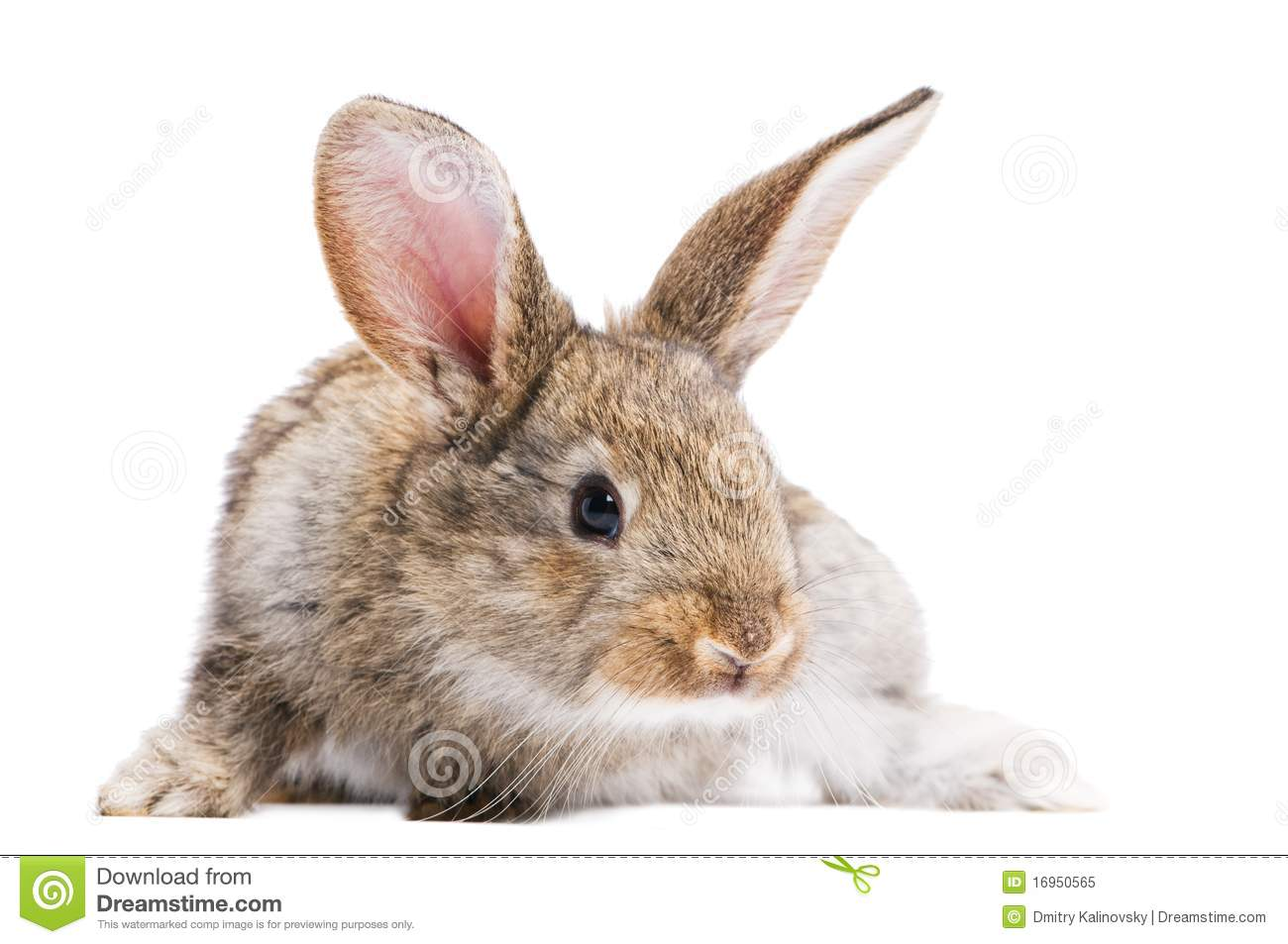 Brown Rabbit Isolated Royalty Free Stock Photo - Image ...