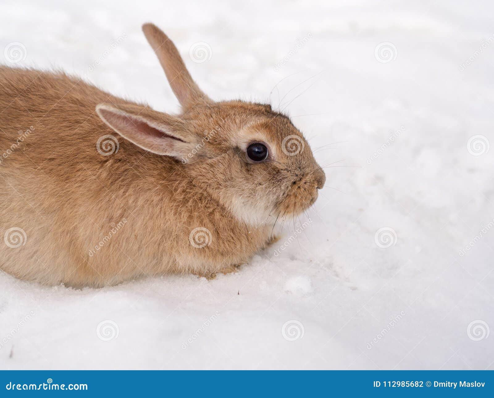 Brown rabbit close up