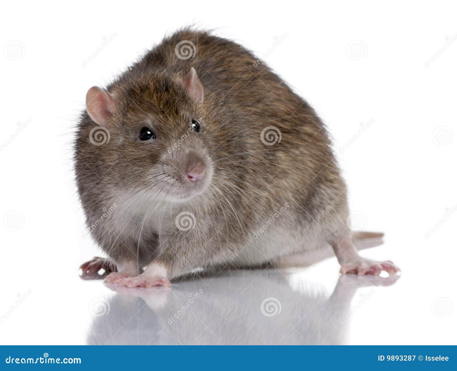 how to use quasar rat